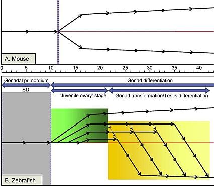Föreslagen modell för Zebrafisk sexdifferentiation